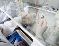 Assistente di laboratorio in un ambiente sterile per il micro-campionamento fotografie stock