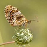 Assmanns fritillary butterfly. Assmann's fritillary (Melitaea britomartis) butterfly resting on flower with bright green background royalty free stock photography