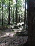 Assoalho da floresta da faia imagens de stock