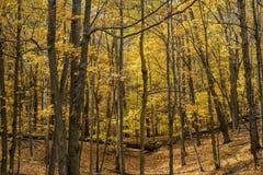 Assoalho da floresta do bordo, outono imagens de stock