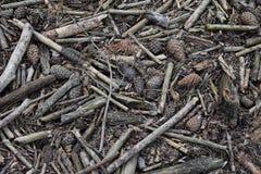 Assoalho de uma floresta do pinho Foto de Stock