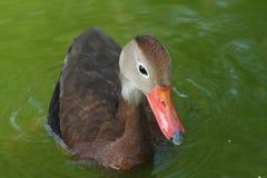 Assobiar-Pato Preto-inchado Imagem de Stock Royalty Free