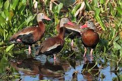 Assobiar-patos Preto-inchados Imagem de Stock Royalty Free