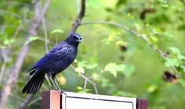 Assobiar-Tordo azul Foto de Stock