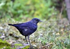 Assobiar-Tordo azul Fotografia de Stock