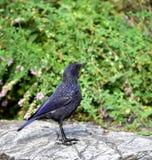 Assobiar-Tordo azul Foto de Stock Royalty Free
