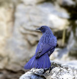 Assobiar-Tordo azul Imagem de Stock