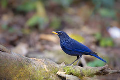 Assobiar-Tordo azul Fotos de Stock Royalty Free
