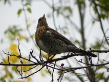 Assobio do p?ssaro que senta-se em um ramo Os p?ssaros alimentam no fruto de Rowan no outono Detalhes e close-up imagem de stock