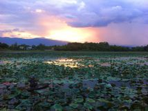 Associação de Lotus Foto de Stock