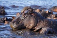 Associação do hipopótamo, rio de Chobe, tira de Caprivi, Botswana foto de stock