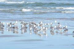 A associação maré reflete muitas gaivotas que aterraram na ressaca fotografia de stock royalty free