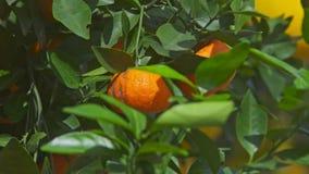 Associado macro com os mandarino vietnamianos do ano novo entre as folhas video estoque