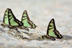 Assorbimento di acqua naturale della farfalla fotografie stock libere da diritti