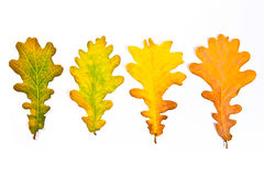 Assort of different autumn leaves isolated on white background. Royalty Free Stock Image