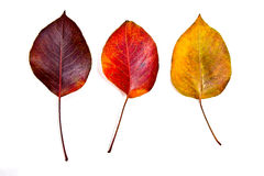 Assort of different autumn leaves isolated on white background. Royalty Free Stock Photography