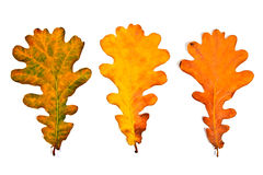 Assort of different autumn oak tree leaves isolated on white bac Stock Photography