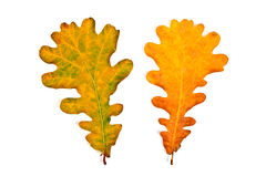 Assort of different autumn oak tree leaves  on white bac Stock Photography