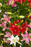 Assorted Asiatic Lilies Stock Photography