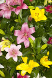 Assorted Asiatic Lilies Stock Photos