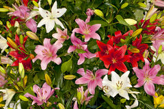 Assorted Asiatic Lilies Royalty Free Stock Image