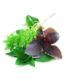 Assorted basil herbs Royalty Free Stock Image