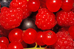 Assorted berries (raspberries, black and red currants) as backgr Royalty Free Stock Photo