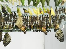 Assorted Butterflies on Chrysalis inside a Butterfly House. Assorted butterflies have emerged from their chrysalis and are drying their wings as they hang upside stock image