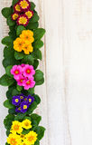 Assorted colorful primula Stock Photos