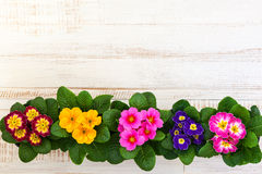 Assorted colorful primula Royalty Free Stock Image