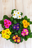 Assorted colorful primula Royalty Free Stock Images
