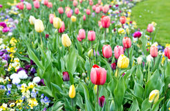 Assorted colorful tulips on flowerbed Stock Images
