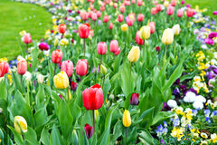 Assorted colorful tulips on flowerbed Royalty Free Stock Photo