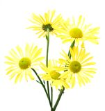 An assorted daisy bunch. Isolated fresh assorted daisy bunch Royalty Free Stock Image