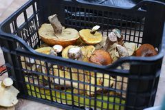 Assorted fresh forest mushrooms in a black basket royalty free stock photo