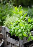 Assorted fresh herbs growing in pots royalty free stock image