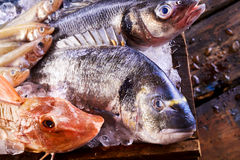 Assorted fresh marine fish in a crate of ice. With focus to the heads of a red gurnard and dorade or gilt-head bream in the foreground royalty free stock image