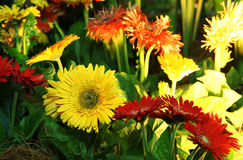 Assorted gerbera flowers. Assorted yellow and red color gerbera flowers arrangement Stock Images