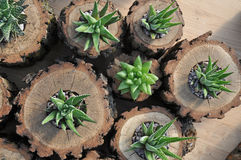 Assorted Haworthia Plants in Oak Wood Log Planters. Assorted Succulent Plants in Handmade Oak Wood Log Planters royalty free stock photography