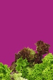 Assorted lettuce Royalty Free Stock Image