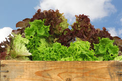 Assorted lettuce in a wooden crate Stock Images