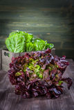 Assorted lettuce Royalty Free Stock Photography