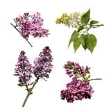 Assorted lilacs Stock Photography