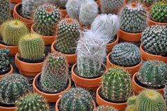 Assorted mini cactus plants Stock Photography