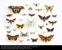 Assorted Moths (Lepidoptera) in the University of Texas Insect Collection Royalty Free Stock Images