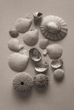 Assorted New Zealand shells Stock Photography