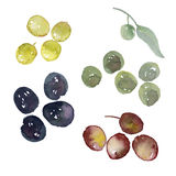 Assorted olives set illustration. Watercolor artwork. different sorts of olive berries - green, black, red, blown Royalty Free Stock Images