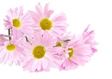 Assorted pink daisies Royalty Free Stock Images