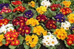 Assorted Primrose Royalty Free Stock Photography