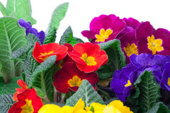 Assorted primula flowers Royalty Free Stock Photography
